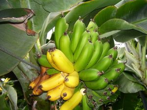 480px-bananas_in_iceland