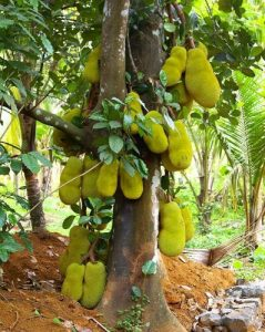 jackfruit-e1458157568820